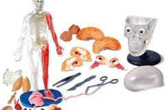 Smartlab人体器官模型玩具